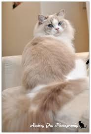 716 best persian kitties images on pinterest animals kitty cats