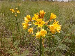 native african plants calostemma crinum cyclamen crocus
