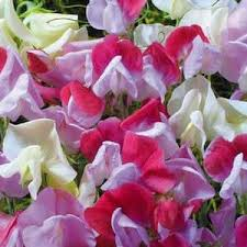 sweet peas flowers sweet peas seeds 22 sweet pea vines swallowtail garden seeds