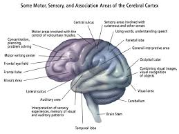 Which Part Of The Brain Consists Of Two Hemispheres Brain Anatomy Core Information