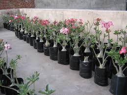 bonsai tropical plants flower indoor mini dma homes 4932