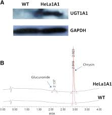 characterization of chrysin glucuronidation in ugt1a1