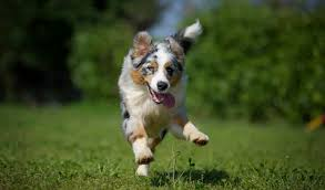 7 month old australian shepherd puppy australian shepherd breed information
