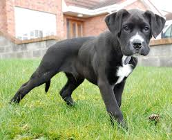 belgian shepherd labrador cross 10 unreal boxer cross breeds you have to see to believe