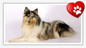 top 10 most beautiful dog breeds youtube