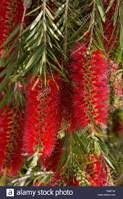 bottle brush tree in flower callistemon sp for bees in