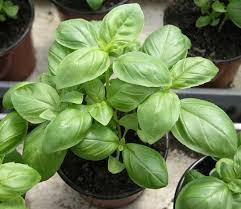 common name basil scientific name occimomum basilicum
