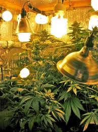 cfl lights for growing weed cannabis cultivation i grow because i love it