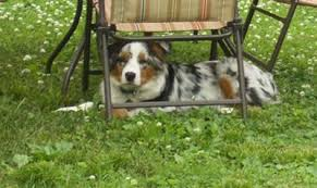 7 month old australian shepherd puppy puppy needs to lose weight