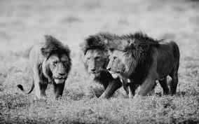 imagenes de leones salvajes gratis animales de la naturaleza escala de grises leones salvajes fondos de