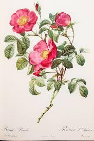 Rose Flower Images Best 25 Vintage Flower Prints Ideas On Pinterest Vintage Prints