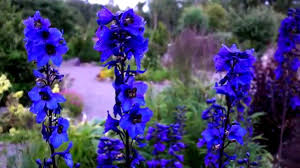 delphinium flower field larkspur flowers