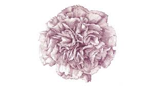 drawn carnation carnation flower pencil and in color drawn