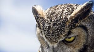 owl wallpapers 29