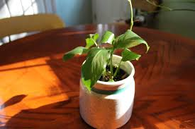 peace lily care common houseplants and best indoor plants youtube