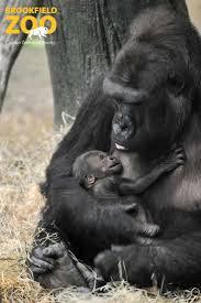 Brookfield Zoo Halloween by 30 Best Brookfield Zoo Babies Images On Pinterest Zoos Births