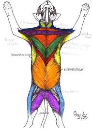cat muscle anatomy superficial muscles cat anatomy pinterest