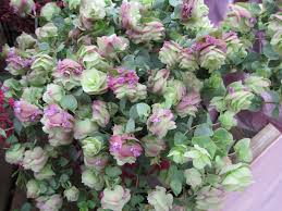 gardening and gardens ornamental oregano