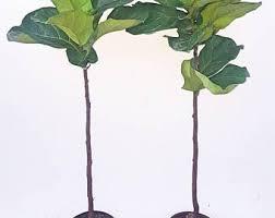 Fiddle Leaf Fig Tree Care by Fiddle Leaf Fig 15 17 Tall Ficus Lyrata Pandurata