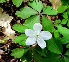 native american medicinal plants vinca minor new hampshire garden solutions