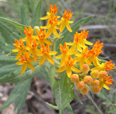 what are non native plants a few native milkweeds