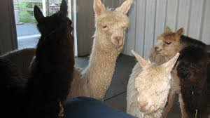 springtime with alpacas by laura orem the best american poetry