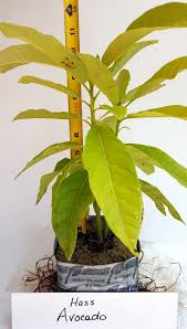 soursop guanabana guanabano tree plant seedling 8 inches and up