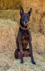 australian shepherd x kelpie toby u2013 8 year old male australian kelpie cross dog for adoption