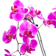 purple orchids stemmed purple orchid the bouqs co