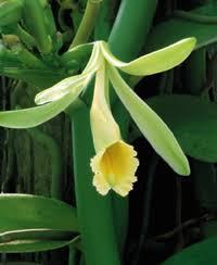 vanilla orchid image001 jpg
