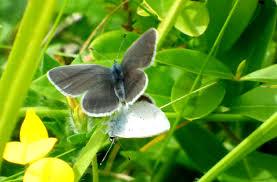 small blue on broadcroft quarry portland dorset butterflies