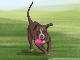 american pitbull terrier 4 weeks 3 ways to take care of a pitbull puppy wikihow