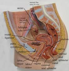 External Female Anatomy Diagram Reproductive System Archives Page 4 Of 10 Human Anatomy Chart