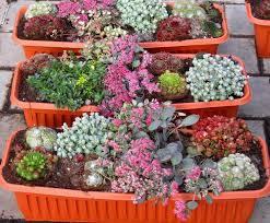 winterharte pflanzen balkon bepflanzter balkonkasten 60 cm sempervivum sedum wintergrün