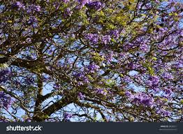 Tree With Purple Flowers Closeup Jacaranda Tree Blooming Purple Flowers Stock Photo 2826927