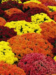 u0027s ready fall mums photographed cher12861 flickr