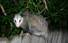 opossums are awesome havasi wilderness foundation
