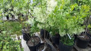 native florida plants low maintenance native plant spotlight gardener and landscape designer laurens