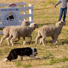 australian shepherd in labor soldier hollow classic sheep dog trials labor day weekend http