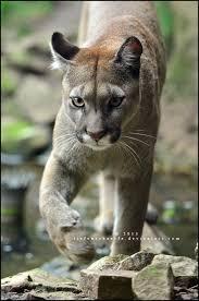Puma Meme - luxury 22 puma meme wallpaper site wallpaper site