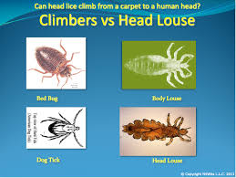 Bed Bug Home Remedies Head Bugs Or Bed Bugs Which Do You Have Nitwits