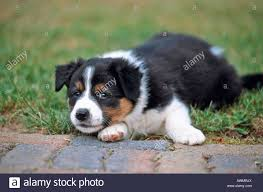 australian shepherd jack russell mix x breed dog stock photos u0026 x breed dog stock images alamy