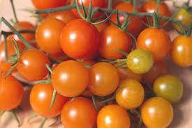 golden gem hybrid tomato seeds tomato growers supply company