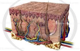 Human Anatomy Integumentary System 3d Medical Image Integumentary System 15 High End Medical