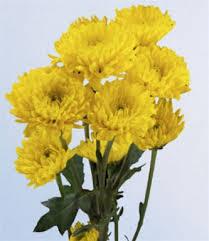 Yellow Pom Pom Flowers - online wholesale bulk discount cushion poms