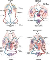 circulatory system variation in animals overview of the