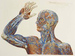 Google Human Anatomy Anatomical Illustration Google Suche Anatomicalillustration