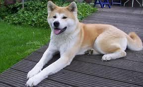 dog contest alex of akita breed dog breed plus