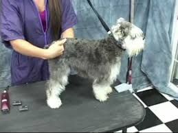 schnauzer hair cut step by step schnauzer grooming at www onlinegroomingschool com take a free