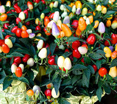 ornamental pepper plant the los angeles flower market